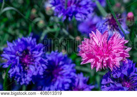 Blooming Blue Cornflowers (centaurea Cyanus) In Garden