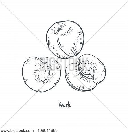 Peach Fruit Sketch Vector Illustration. Hand Drawn Peach Isolated On White Background.