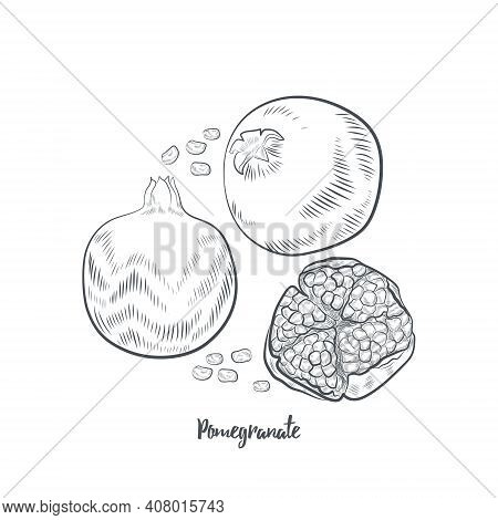 Pomegranate Fruit Sketch Vector Illustration. Hand Drawn Pomegranate Isolated On White Background.