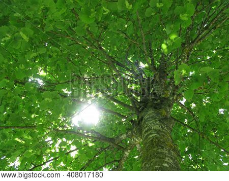 A Linden Tree With Vibrant Green Leaves In A Forest