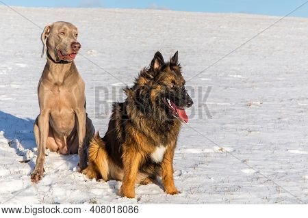 Sheepdog And Weimaraner In The Snow.happy Dog. Winter Time. Healthy Dogs In The Snow.