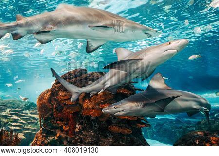 Giant Scary Sharks Under Water In Aquarium. Sea Ocean Marine Wildlife Predators Dangerous Animals Sw