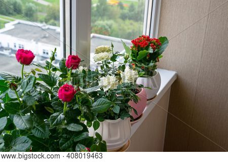 Several Kalanchoe And Roses In Pot Stand On The Windowsill On The Balcony