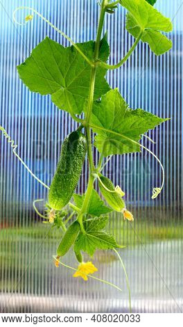 Cucumber Plant. Cucumber With Leafs And Flowers. Growing Cucumber Plant  In The Greenhouse.