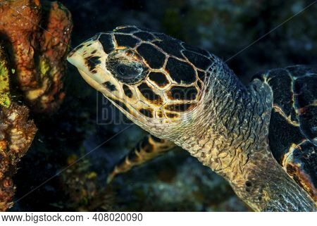 Side Of A Green Turtle Feeding On The Coral Reef