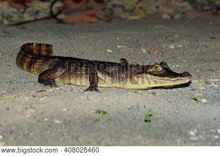 Spectacled Caiman - Caiman Crocodilus Also Known As White Or Common Caiman Or Speckled Caiman In The