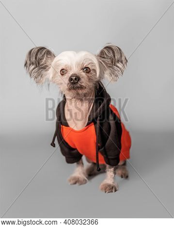 Closeup Front Portrait Of Cute Sitting Chinese Crested Dog. The Pet Wear Orange Colour Clothes