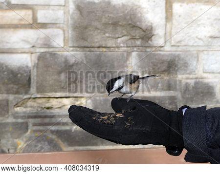 Chickadee Bird Eating Seeds From The Hand