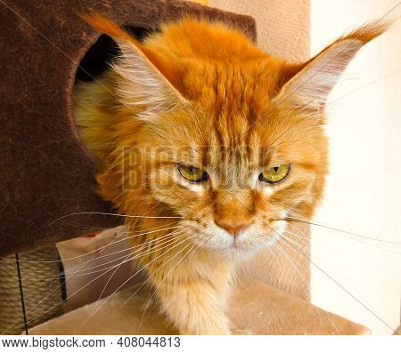 Red Maine Coon Cat Come Out Of House With Sleepy Face. Maine Coon Cat In Bad Mood Wake Up Angry In M