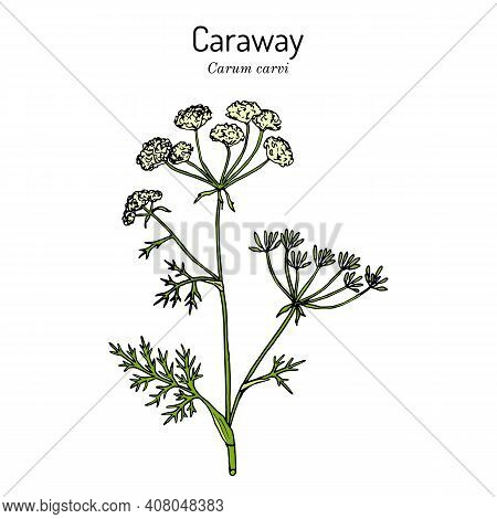 Caraway Carum Carvi , Or Meridian Fennel, Persian Cumin, Aromatic Kitchen And Medicinal Herb. Hand D