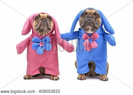 Pair Of Funny French Bulldog Dogs Dressed Up With Easter Bunny Costumes With Blue And Pink Full Body
