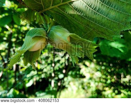 Young Hazelnut (filbert, Cobnut) Grow On Tree. Green Hazelnut On Organic Nut Farm. Hazelnuts Or Cobn