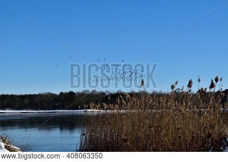 A Flock Of Migrating Birds Over A Frozen Lake In The Netherlands With Wild Reeds In The Foreground