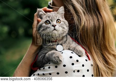The Girl Is Holding On To The Shoulders Of Her Pet. Kitten Breed Scottish Straight 4 Months Old With