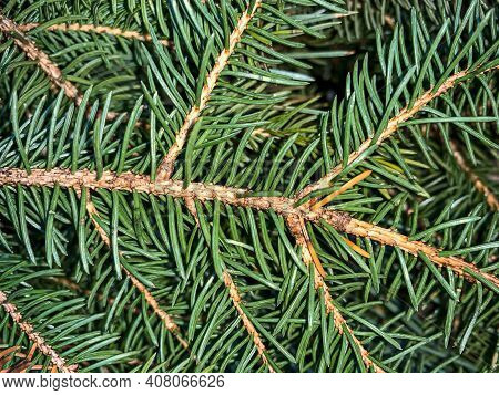 Green Spiky Pine Needles Close Up Background