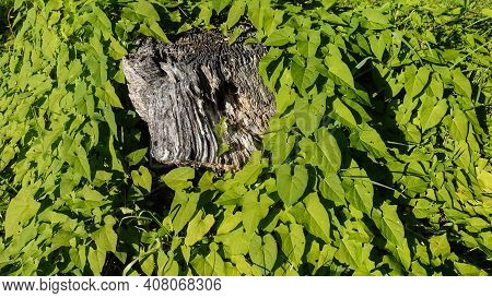 An Old Weathered Tree Stump With A Pronounced Texture Is Surrounded By Bright Green Leaves Of Climbi