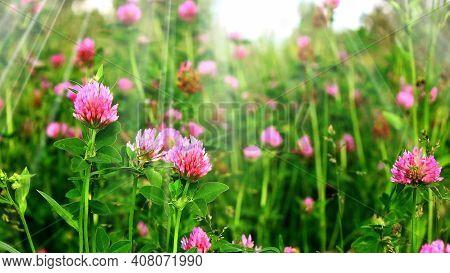 Field Red Clover Flower (trifolium Pratense) In Spring Rural Landscape. Medicinal Herb Red Clover Fl