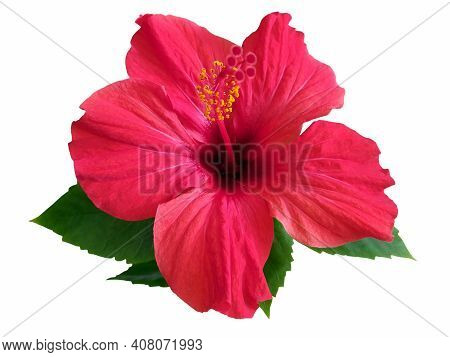 Red Hibiscus Flower & Leaf (rosa Sinensis) Isolated On White Path Background. Pink Hibiscus Flower S