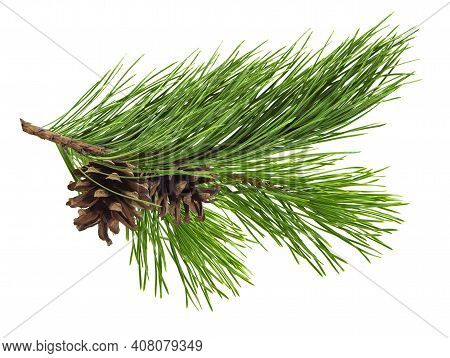 Pine Twig Isolated, Pine Branch On White Background. Green Natural Pine Branch . Fir/pine Tree Branc