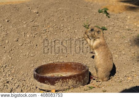Woodchuck Near A Plate Of Food In