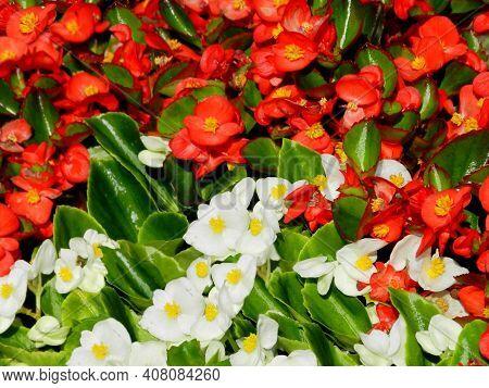 Red (orange) White Rieger Begonia Flowers Pattern Background & Begonia (semperflorens) Leaf In Garde