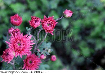 Pink Chrysanthemum Flower Branch On Green Garden Background. Colorful Pink Chrysanthemum Pattern In