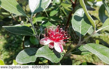 Feijoa Tree Flower (acca Sellowiana) Pineapple Guava, Guavasteen. Branch With Flowers & Leaf On Feij