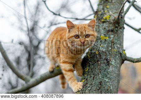 Ginger Kitten Climbs The Tree In Autumn