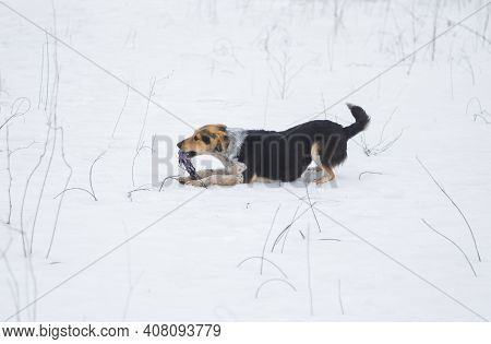 Mixed Breed Black Dog Playing In Snow With Rope