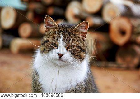 Cute Tabby Cat Sitting In Farm On Wood Log. Portrait Tabby Gray Cat White Chest Looking & Sitting Ne