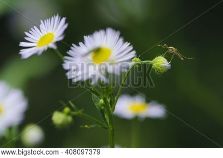 Small Mosquito On A Delicate White Daisy. Small White Field Daisies. Bloom In Spring In The Meadow O