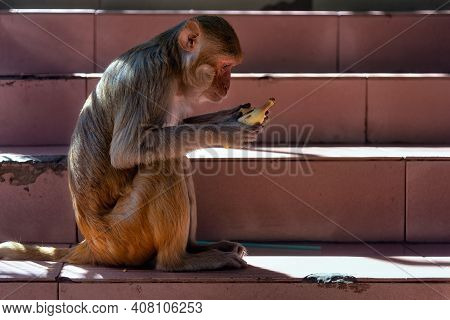 Macaque On Mount Popa Staircase Peeling A Banana, Myanmar. Mount Popa Is A Pilgrimage Site Were Maca