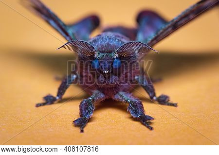 Portrait Of A Purple Moth On Light Background