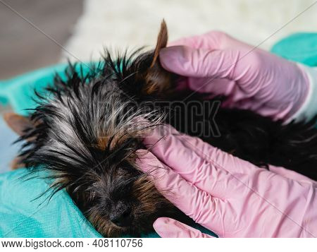 Young Veterinary Woman Checking Ears Of Cute Lovely Young Yoksher Terrier Puppy At Veterinary Clinic