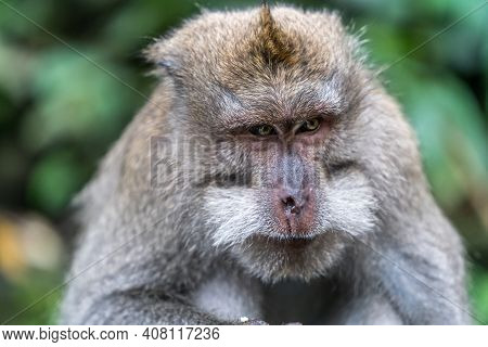 The Boss Of The Ubud Monkey Forest Sanctuary Don't Mess With Him - Bali Indonesia