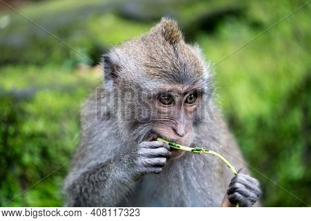 The Hungry Monkey Of The Ubud Monkey Forest Sanctuary In Bali Indonesia
