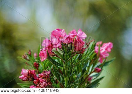 Selective Focus. Blooming Pink Oleander Flowers (oleander Nerium)on A Blurred Background. Pink Flowe
