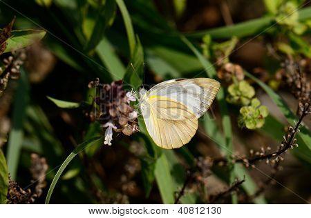 Common Albatross Butterfly (appias Albina)