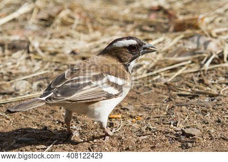 White-browed Sparrow-weaver (plocepasser Mahali) Standing On The Ground Foraging In Hwange National