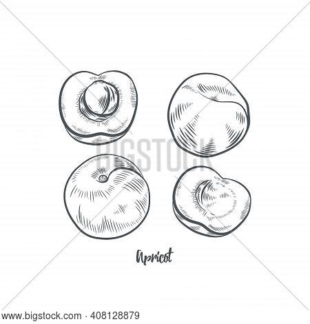 Apricot Fruit Sketch Vector Illustration. Hand Drawn Apricot Isolated On White Background.