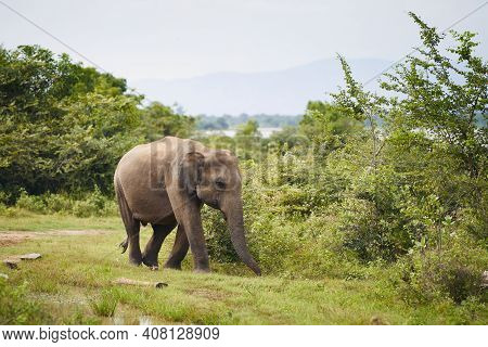 Elephant In The Wild Against Green Landscape. Wildlife Animals In Sri Lanka.