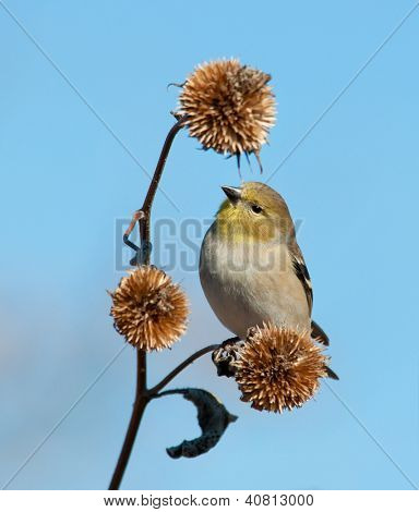American Goldfinch in winter plumage, looking for seeds on a dry wild sunflower