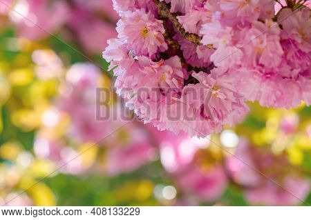 Sakura Blossom In Sunlight. Beautiful Nature Background In Springtime. Pink Flowers In Front Of A Bl