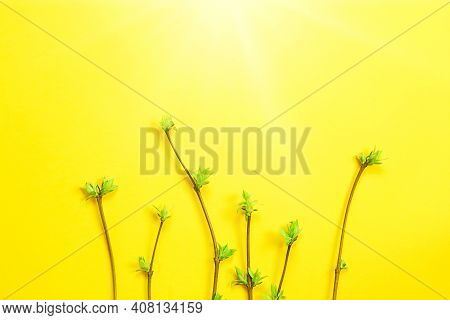 Delicate Little Leaves From Open Buds On Branches-sprouts On A Yellow Background. Spring, The Beginn