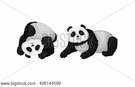 Black And White Panda Bear Or Giant Panda With Patches Around Its Eyes And Ears In Lying Pose Vector