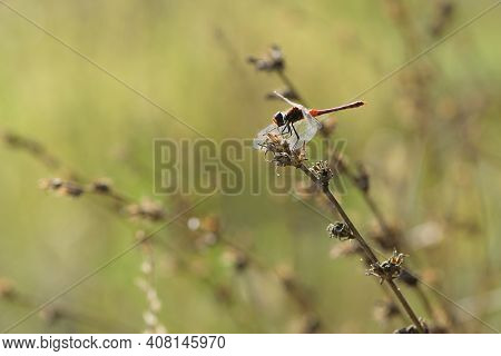 Dragonfly On A Dry Plant. A Copper Colored Metallic Dragonfly Sits On A Dry Plant Against A Natural