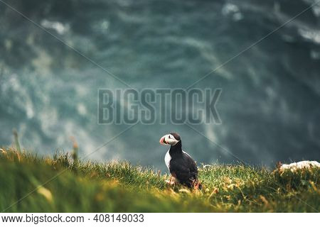 Atlantic Puffins Bird Or Common Puffin In Ocean Blue Background. Fratercula Arctica. Shot In Faroe I