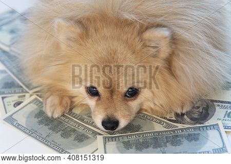 Sad Little Dog Is Lying On Money, Banknotes Of One Hundred Us Dollars And Golden Coin. Savings, Inve
