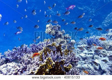 coral reef on the bottom of red sea with hard fire corals and exotic fishes poster