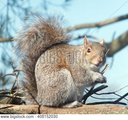 Friendly And Plump Brown Squirrel Getting Some Sun On A Winter's Day